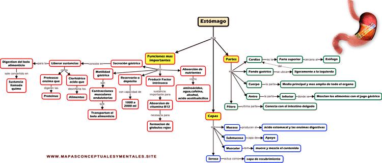 Mapa conceptual del estomago, con sus partes y funciones mas importantes