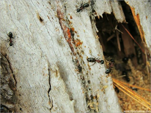 Hormigas en uno de los Árboles de Lakeside Cedar Cabins en Maine