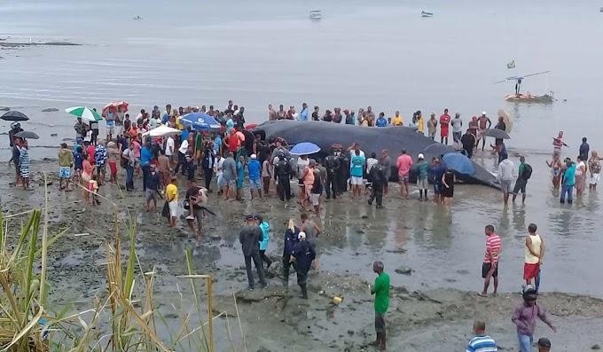 Baleia morta segue em praia de Salvador; moradores relatam mau cheiro e medo de doenças