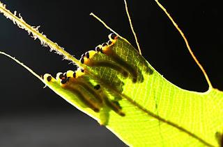 η πεταλούδα του λάχανου και πως αντιμετωπίζεται