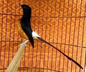 List/Harga Kandang Burung Murai No 3 Paling Lengkap Dan Terbaru Saat Ini