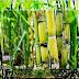 Tanaman Tebu (Saccharum officinarum) Emas Putih Tumbuhan Penghasil Gula
