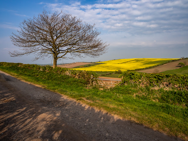 Photo of looking across to a field of rapeseed from a footpath known as Fat Lonning