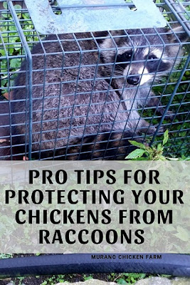 Directions to protect chickens from raccoons