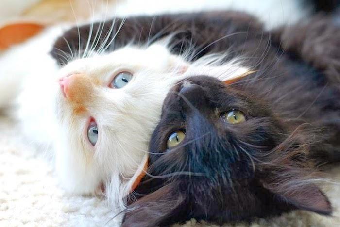 fotografia de gatos blanco y negro abrazados
