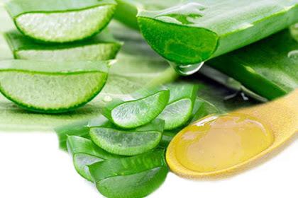 Penuh Khasiat! Manfaat Lidah Buaya (Aloe Vera) Untuk Kecantikan Wajah dan Mengobati Berbagai Penyakit