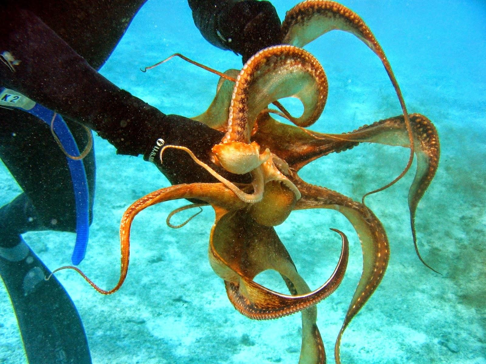 octopus 1080p hd
