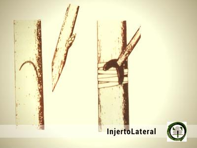 El Injerto Lateral es un Injerto de Púa que se practica comienzo de primavera
