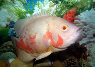 Apa saja Kelebihan ikan oscar albino