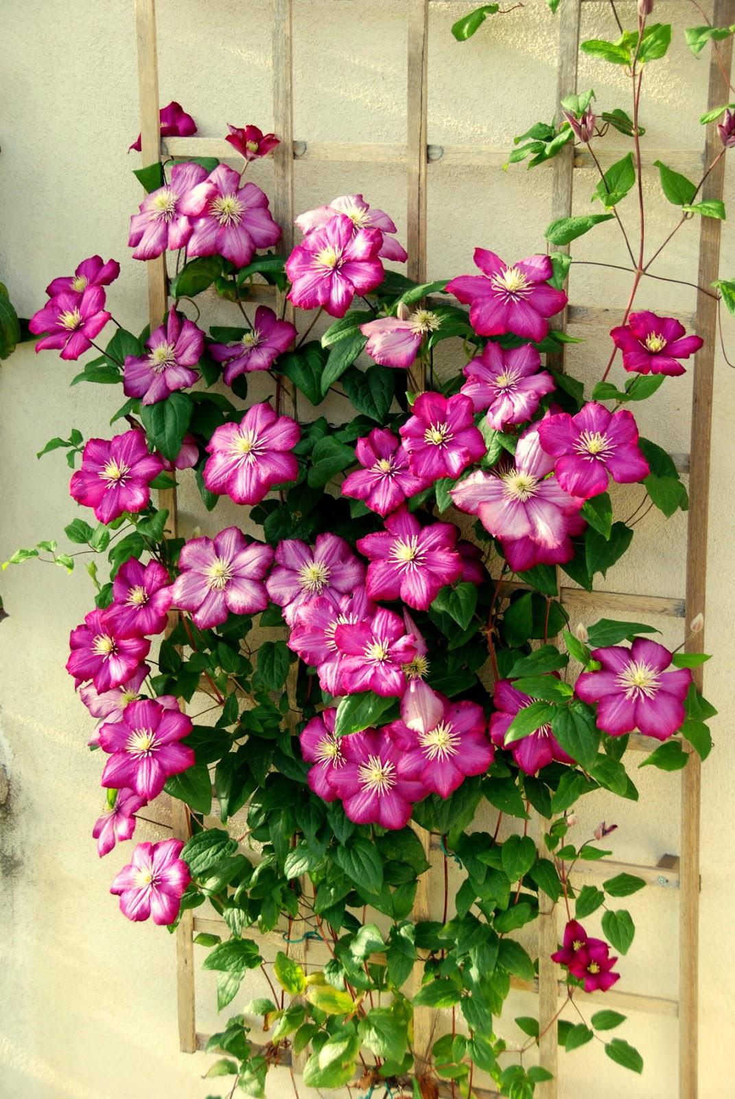 Rampicanti Adatti In Vaso il mondo in un giardino: la grazia delle clematis