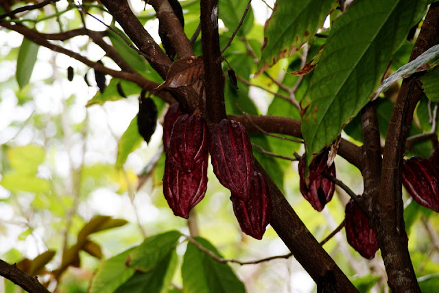 Pengelolaan agribisnis kakao