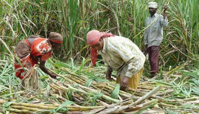 Land due to organic fertilizers सेंद्रीय खतांमुळे जमिनीच्या प्राकृतिक ऊस लक्ष 125
