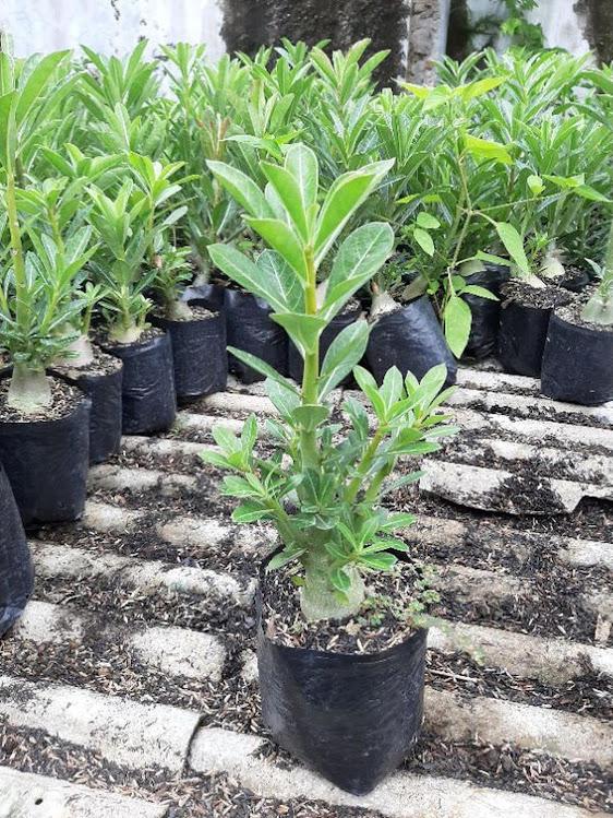 Adenium Kamboja Cabster Cabang seribu 1 paket isi 3 pohon size A Kalimantan Timur