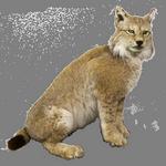 lynx in spanish