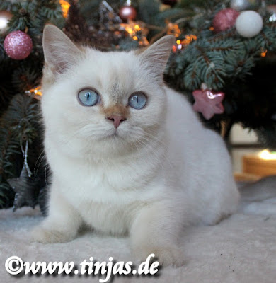 Britisch Kurzhaar Katzenbaby 3