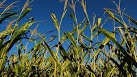 Corn is the main crop used in the U.S. to produce biofuel. (Credit: Jim Deane/Flickr) Click to Enlarge.