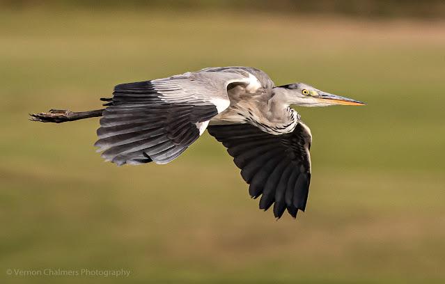 Grey Heron in Flight over the Diep River Woodbridge Island Photo: Vernon Chalmers