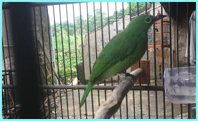 Racikan pakan burung cucak ijo yang pastinya sangat diharapkan untuk menjaga kesehatan dan Pakan Racikan Untuk Burung Cucak Ijo Agar Gacor