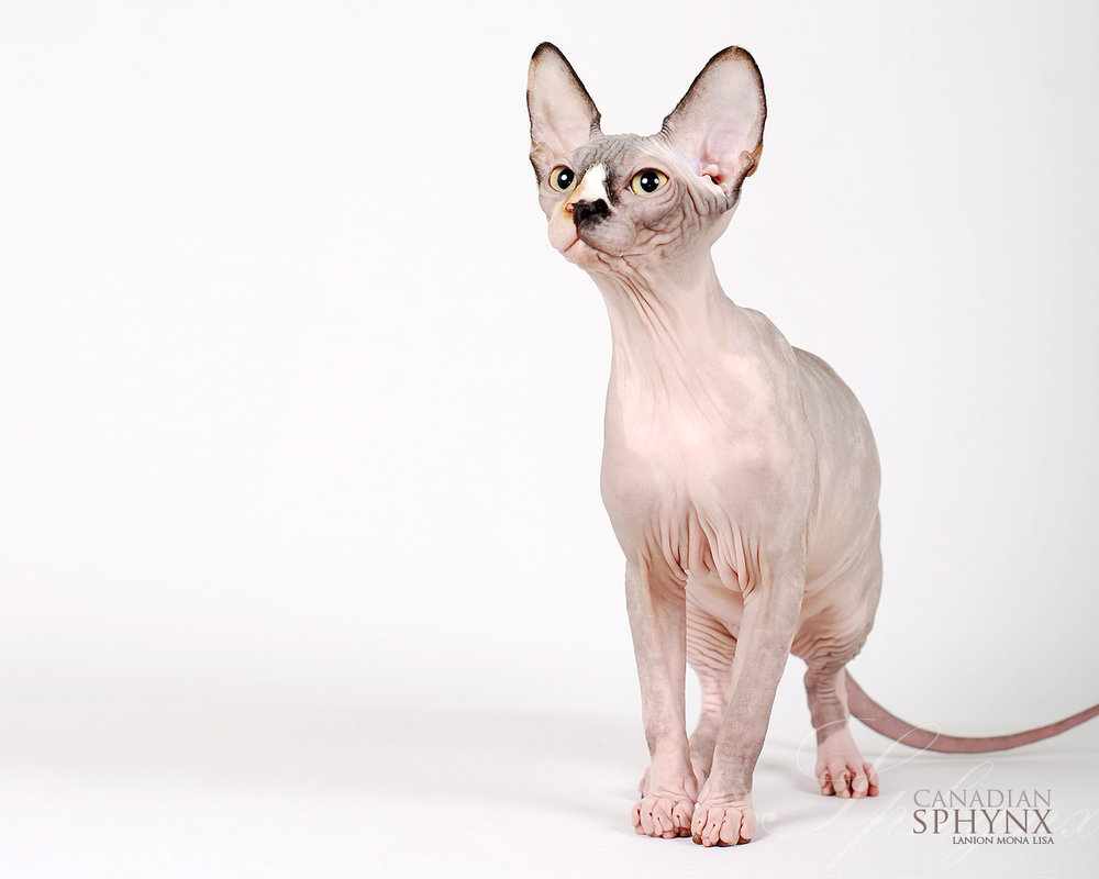 Sphynx Cat Wallpapers | Animals Library