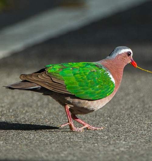Birds of India - Photo of Common emerald dove - Chalcophaps indica