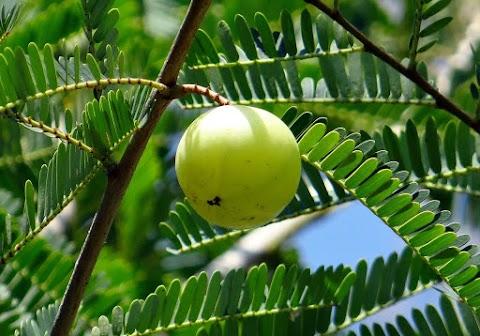 Why Amla (Indian gooseberry) is Superfood?