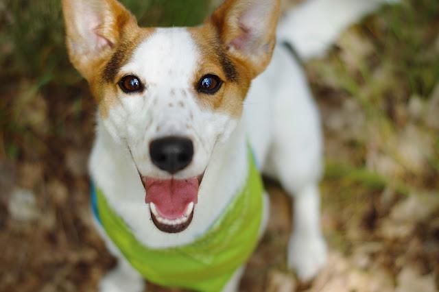 Pies w bandamce