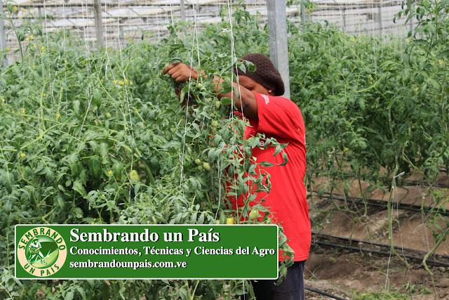 tutoreando tomates