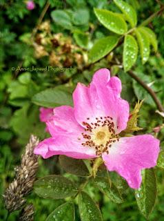 wild rose image