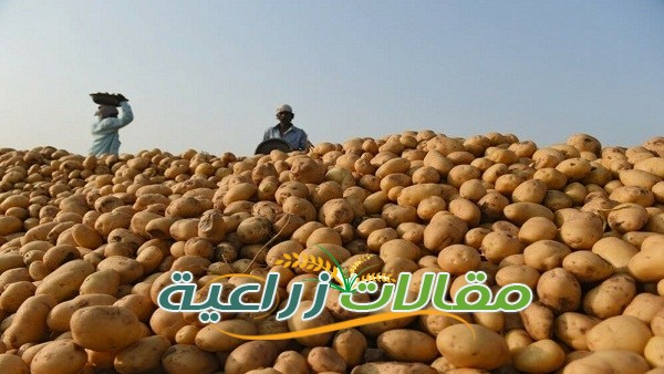 كل مايخص زراعة البطاطس والحصول على محصول جيد - مقالات زراعية