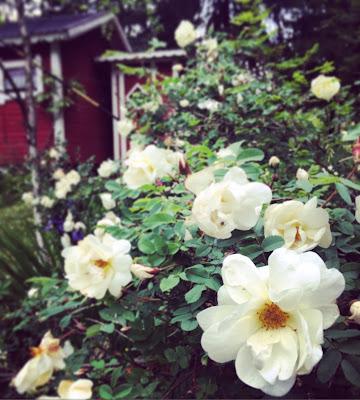 juhannusruusu, pensas, valkoinen kukka