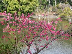 平家池の寒緋桜