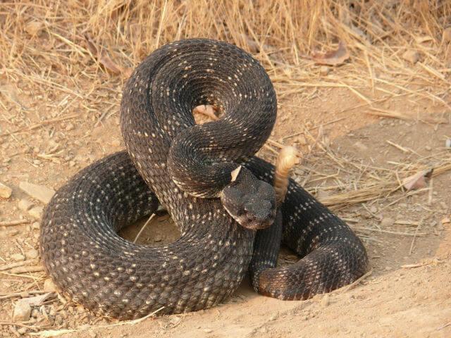 Which-is-the-most-venomous-snake-in-the-world-deadliest snake-killer snake