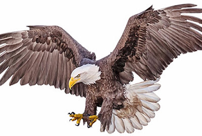 An eagle swooping down painted on white background
