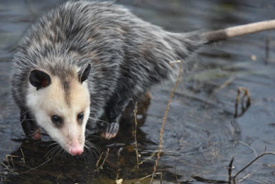 Opossums thrive in North America, and have been designed with several special characteristics that ensure their survival.