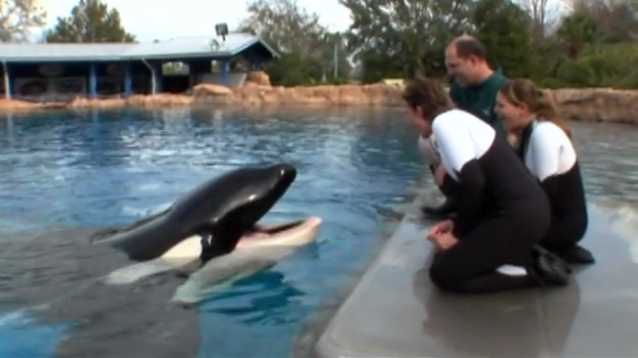 Tilikum in Blackfish