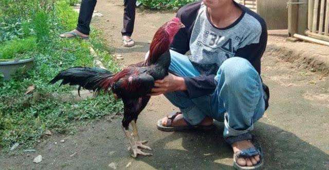 Perawartan ayam menunurut karakternya