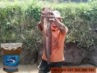 Umpan Khusus Ikan Lele