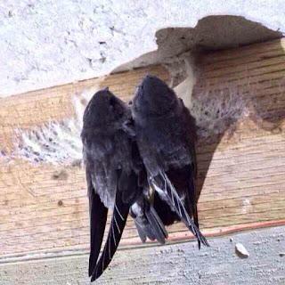Cách chim yến làm tổ trong nhà yến.