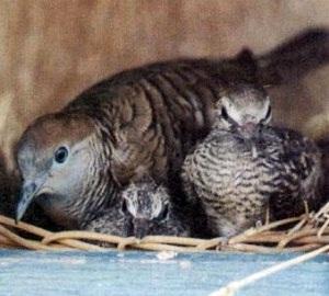 breeding perkutut
