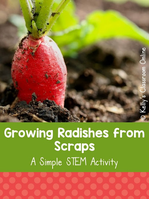 Learn how to grow radishes from scraps at home or in the classroom. You only need a radish, toothpicks, a glass and some water. #kellysclassroomonline