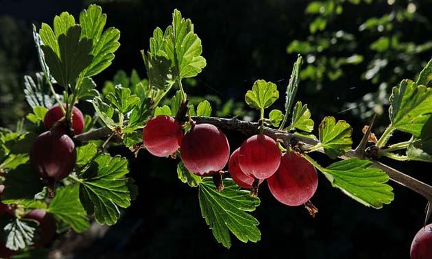 Groselha (Ribes nigrum L.)