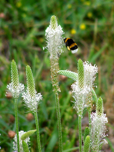 Greater Plantain Plantago major visited by Buff-tailed Bumble Bee Bombus terrestris. Indre et Loire. France. Photo by Susan Walter.