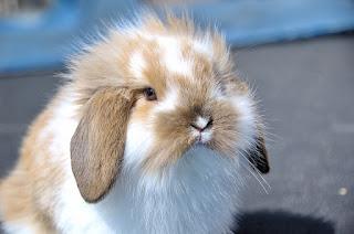 Jenis Kelinci Lop Hias