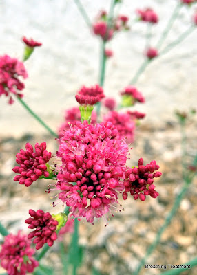 "Eriogonum grande rubescens ""Red Buckwheat"""