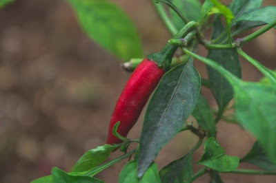 Shrews have been found to eat hot peppers. It was discovered that a mutation and loss of information allowed this, and has falsely been called evolution.