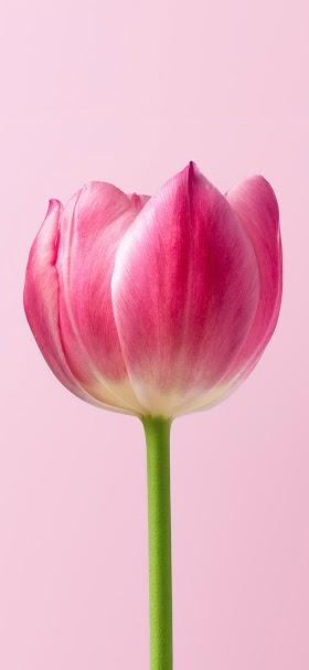 خلفية زهرة التوليب الوردية بخلفية زهرية اللون