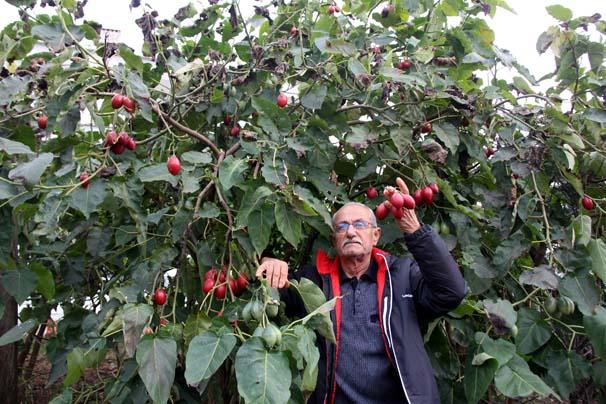 'Ağaç domatesi' adını verdiği 'Tamarilla' bitkisi ile kazanmaya başladı
