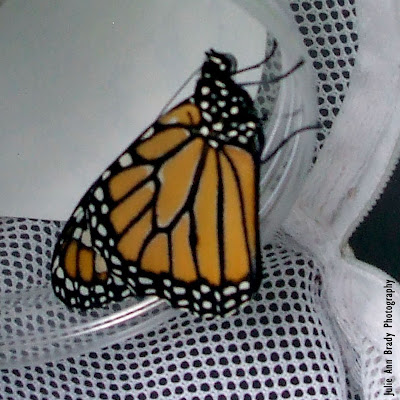 New Monarch Butterfly in 8 Days June 3, 2018