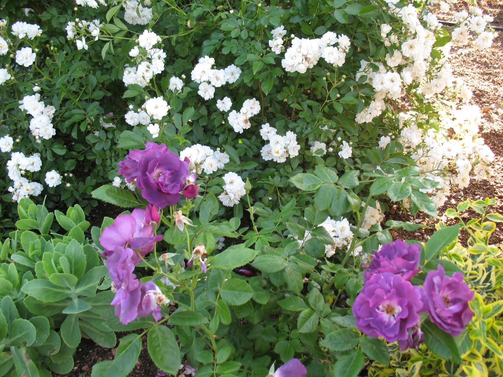 roses du jardin ch neland rosier rhapsody in blue. Black Bedroom Furniture Sets. Home Design Ideas