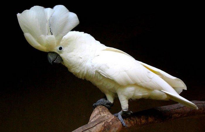 jenis burung kakatua di Indonesia, jenis makanan kakatua, jenis burung kakatua di dunia, jenis kelamin kakatua jambul kuning, jenis burung kakatua yang dilindungi, jenis kakatua yang tidak dilindungi, harga jual kakatua, jenis kakatua yang bisa bicara, jenis kakatua di dunia, kakatua koki, kakatua hitam ekor merah, kakatua maluku, kakatua galah, Kakatua Putih Besar Jambul Putih, Cacatua Alba, burung pintar
